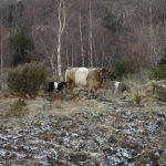 Galloway ku med kalv