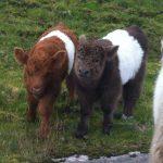 Brun og svart Belted Galloway-kalver.