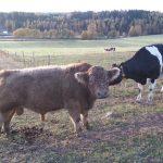 Dette er Bertil, han er født på Jæren. Snilleste oksen som har vært på gården her. Foto: Birgitte Plesner
