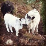 Kalven vart født i slutten av januar 2016, etter semin. Er to mnd på bilde. Foto: Brit Oddrun Stuve