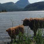 Highland Cattle kyr i Sandnes