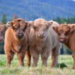 Highland Cattle kalver