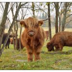 Highland Cattle kyra