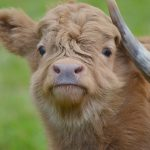 Highland Cattle kalv