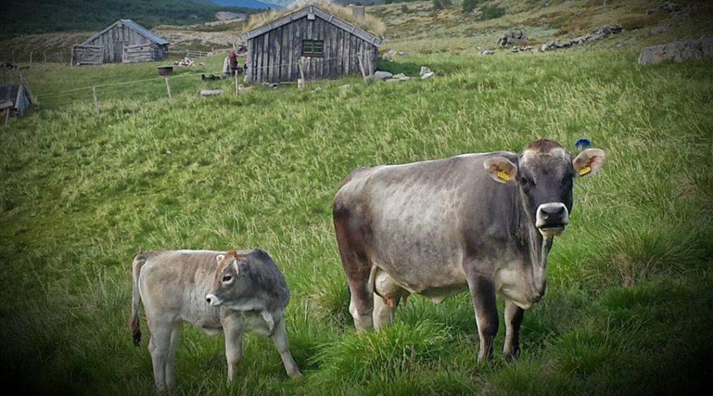 Norsk Tiroler Grauvieh