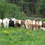 Nye helsekrav ved livdyromsetning av storfe - fra Animalia