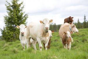 Prisendring på norskprodusert kjøttfesæd