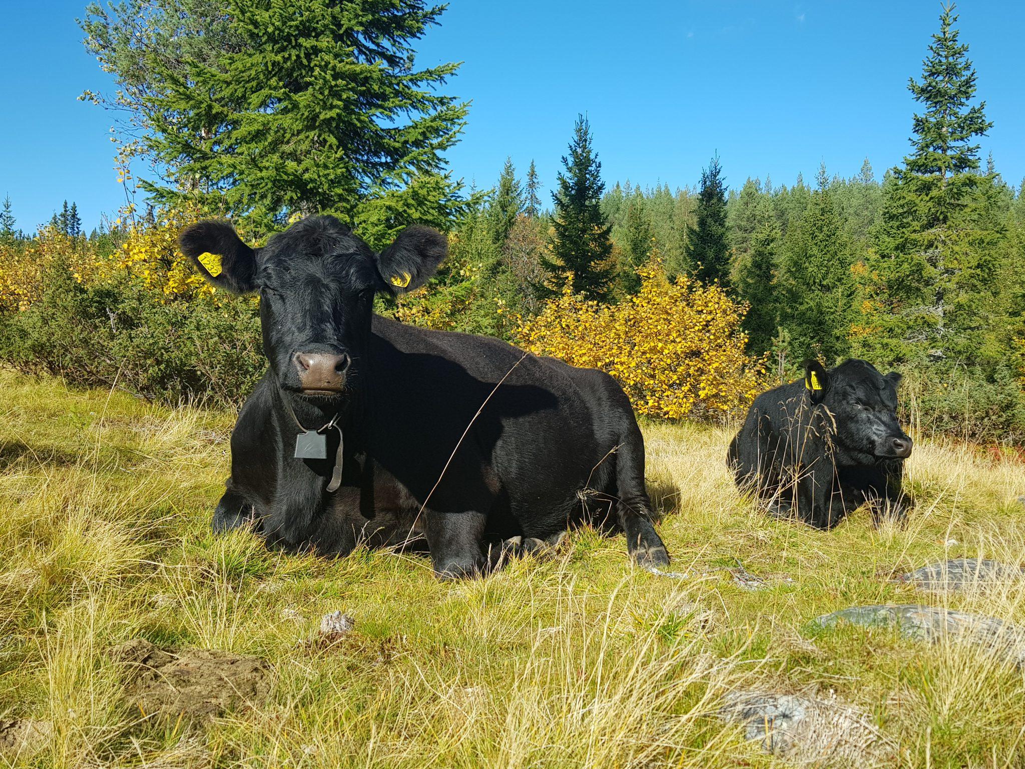 Aberdeen Angus på skogsbeite